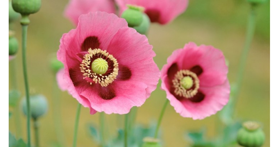 poppies_flowers_hd_16271000