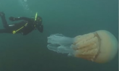 O meduza gigantica a fost filmata in largul coastei britanice. E mare cat un om! (Video)